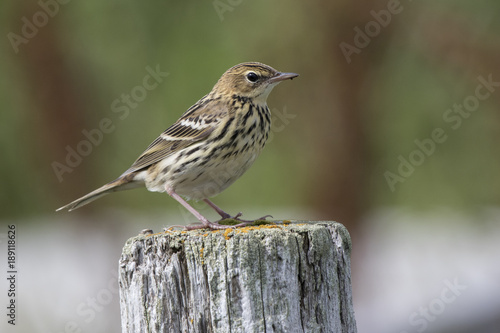 Photo  PECHORA PIPIT sitting on a wooden pole in a summer day in the tundra