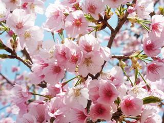 Fototapeta Owoce 満開の桜