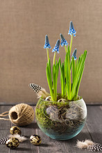 Blooming Blue Grape Hyacinth Flowers. Easter Decoration.