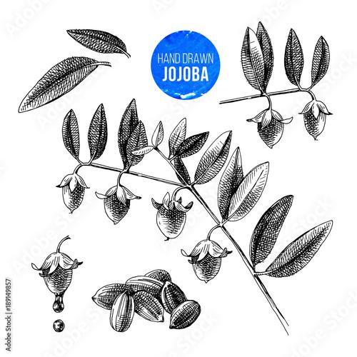 Fotografie, Obraz  Jojoba nuts, branches and fruits