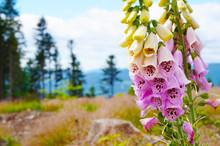 Digitalis Purpurea Flower In The Nature
