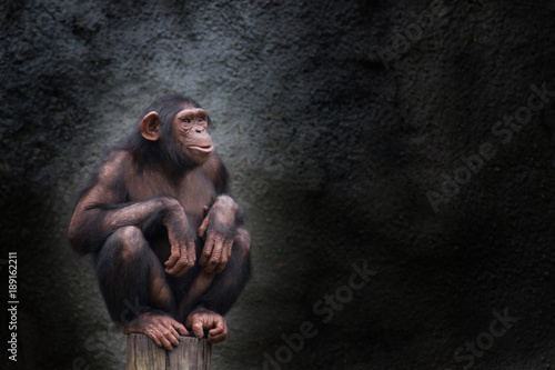 Canvastavla Young chimpanzee alone portrait, sitting crouching on piece of wood with crossed legs and staring at the horizon in pensive manner against a dark background