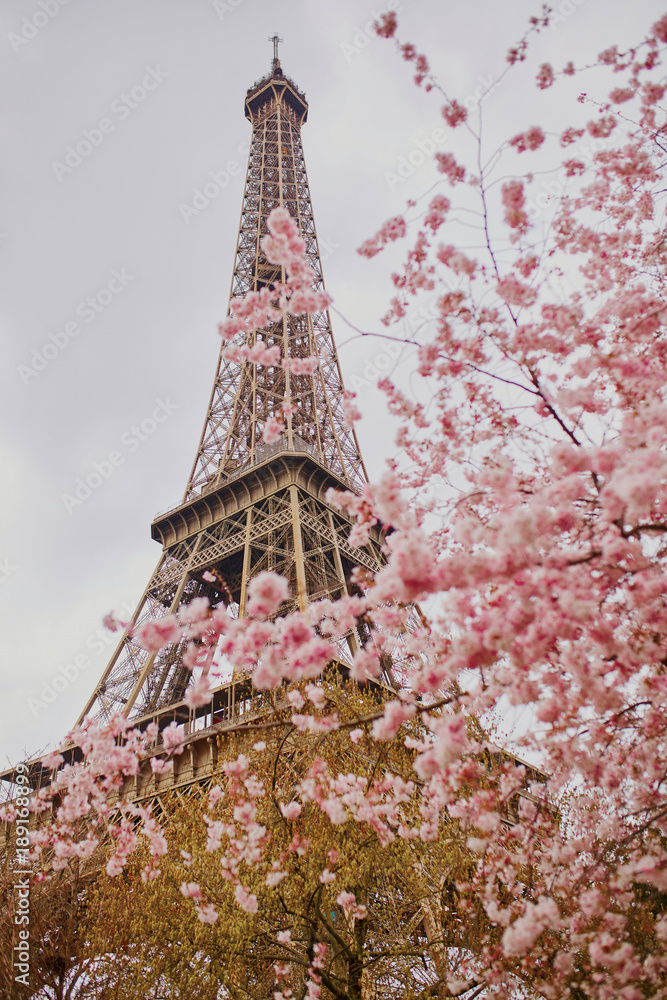 Beautiful cherry blossom tree and the Eiffel Tower