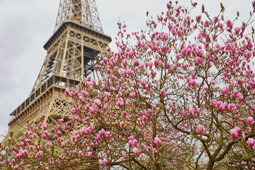 Fototapeta Paryż Eiffel tower with pink magnolia in full bloom