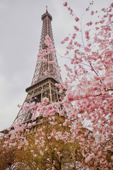 Fototapeta Paryż Beautiful cherry blossom tree and the Eiffel Tower