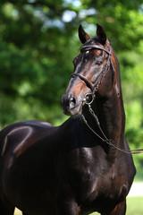 hengst portrait stallion