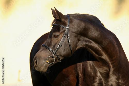 Fototapety, obrazy: hengst portrait stallion