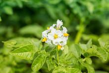 Blooming Potato Bush, Flower Potatoes  Blur Bokeh Background