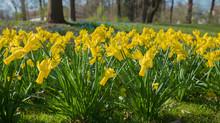 Blumenbeet Mit Gelben Trompete...