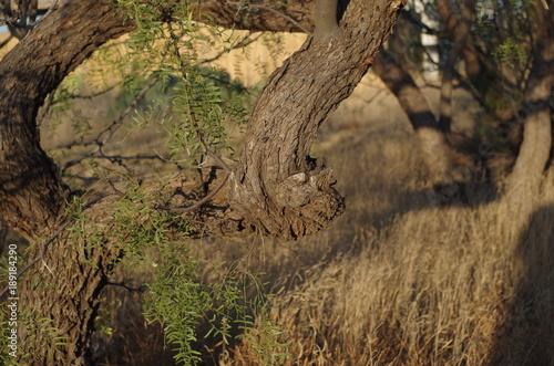 Fotografija  Mesquite Tree Branches Closeup