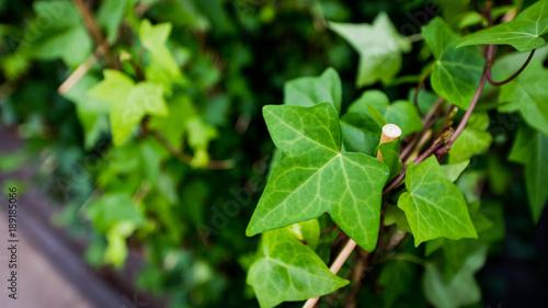 bluszcz - roślina pnąca