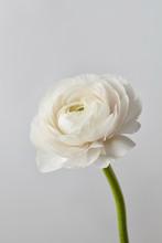 White Ranunculus Flower On A G...