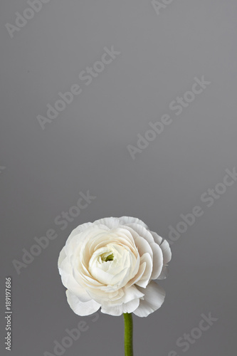 Fotografia white ranunculus flower on a gray background