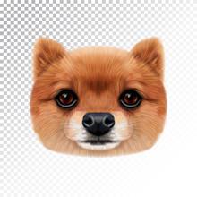 Vector Illustrated Face Of Pomeranian Spitz Dog.