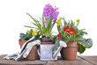 hyacinth, primrose and daffodils in flowerpots on a plank