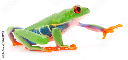 Red eyed tree frog Agalychnis callydrias crawling or reaching for something isolated on a white background.