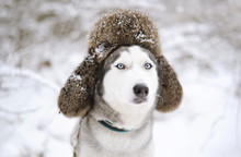 Huskies Dog With Fur Cap With ...