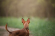 Russian toy Terrier in the nature