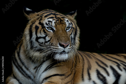 Fototapety, obrazy: Close-up bengal tiger and black background.