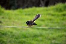 New Zealand Fantail, Rhipidura...