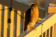 Sharp-shinned Hawk Perched On A Back Yard Deck In The Sunset Light