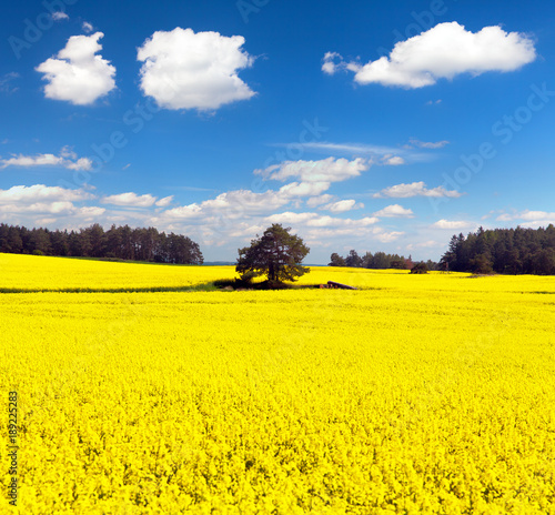 golden field of flowering rapeseed, canola or colza