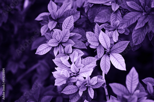 Ultra Violet background made of green leaves.