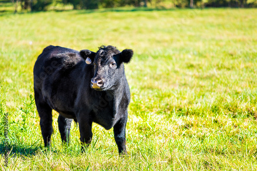 Photo One black young cow, calf closeup grazing on pasture, green grass in Virginia fa