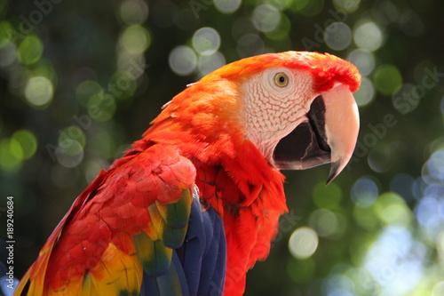 Naklejki papugi  kolorowa-papuga-ara-z-bliska-w-sloneczny-dzien-na-zielonym-rozmytym-tle