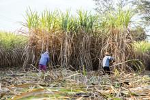 Farmer Cut Sugarcane In Harves...