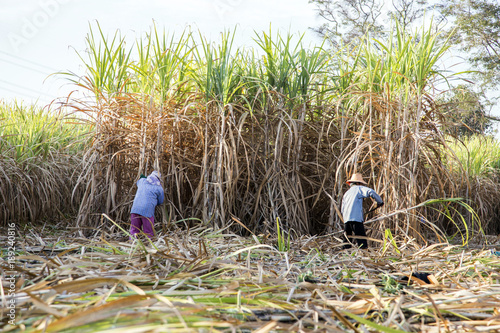 farmer cut sugarcane in harvest season Fototapet