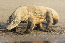 Komodo Dragon, Famous Reptile ...