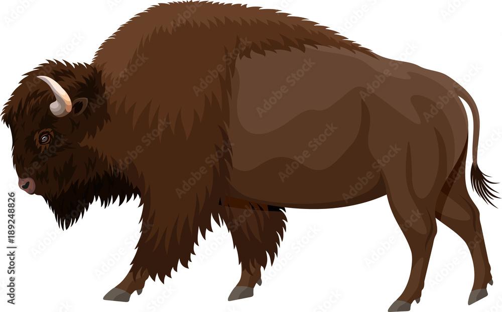 Fototapeta vector brown zubr buffalo bison