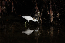 White Heron  In The Mangrove F...