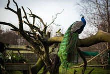 Bright Male Peacock Sitting On...