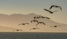 Flock Of  Pelicans Flying At D...