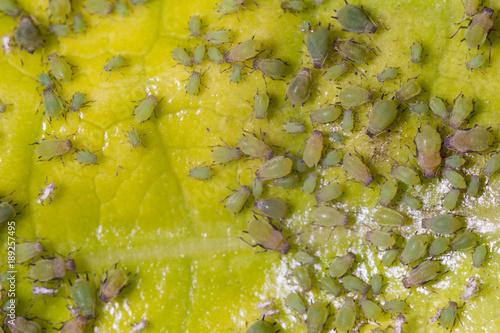 Pulgón verde de los cítricos sobre hoja de noni Wallpaper Mural