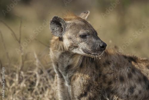 Garden Poster Hyena Hyena eating, Africa