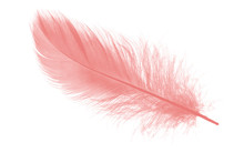 Coral Pink Feather On White Ba...