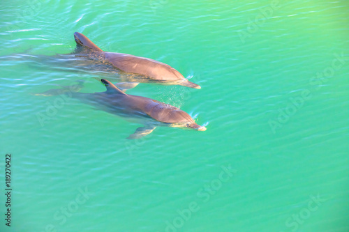 Foto op Plexiglas Dolfijn Two cute dolphins swim in clear waters of Monkey Mia, a marine reserve near Denham, Shark Bay, on coral coast in Western Australia. Monkey Mia is the only place in Australia visited daily by dolphins.