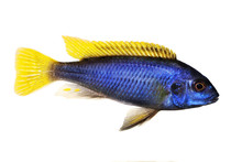 Yellow-tail Acei Cichlid Pseud...