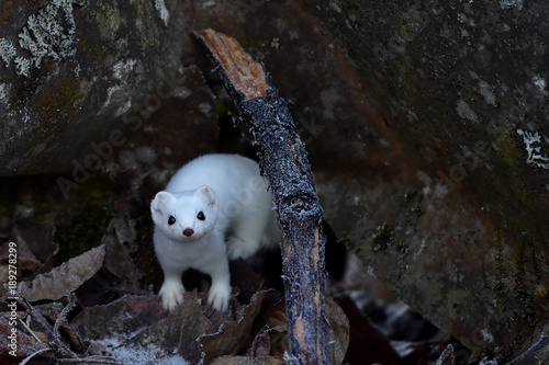 Valokuva Ermine in winter white