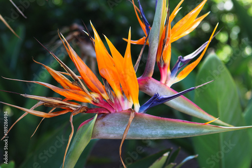 Obraz Exotic colorful Bird of paradise flower in Kirstenbosch botanical garden, Cape Town, South Africa - fototapety do salonu