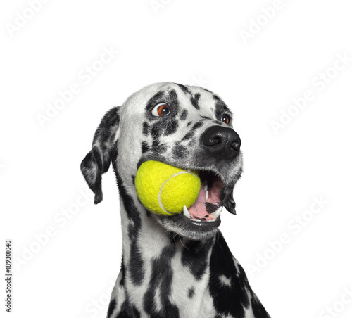 fototapeta na lodówkę Cute dalmatian dog holding a ball in the mouth. Isolated on white
