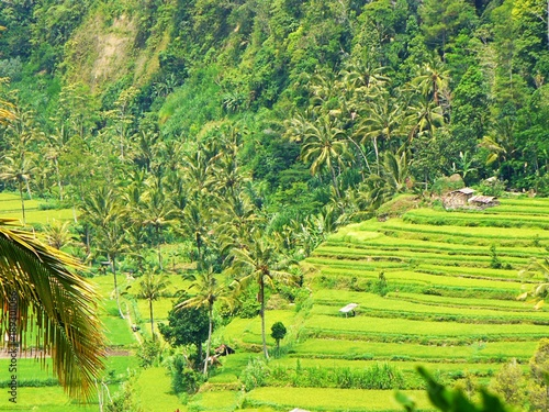 Poster Lime groen Beautiful rice fields in Bali, view of the rice field, green rice field, color of nature in Bali, beautiful landscape