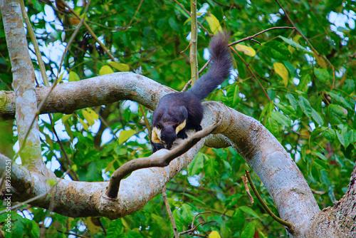 Foto op Aluminium Aap Malayan giant squirrel, Ratufa bicolor, Nameri National Park