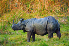 The Indian Rhinoceros, Rhinoce...