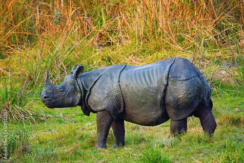 The Indian rhinoceros, Rhinoceros unicornis Billede på lærred