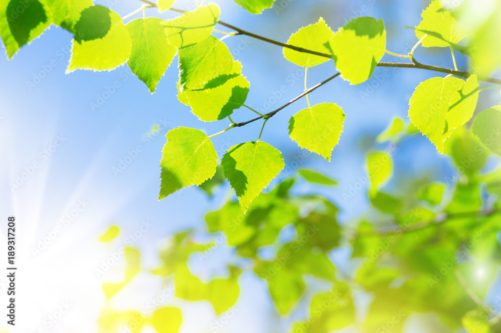 Spring scene with  birch branch against the sky