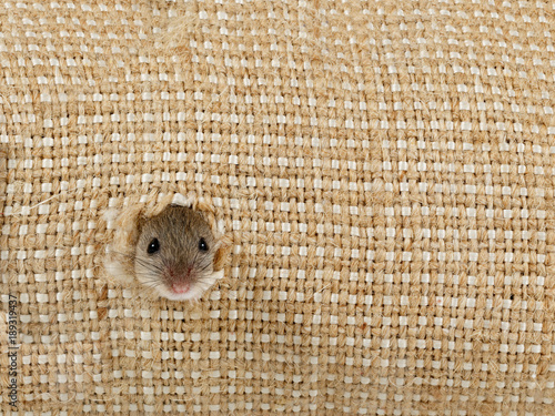 closeup the head of the field mouse (Apodemus agrarius) peeps from the hole in the linen sack and looking at camera